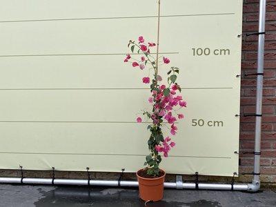 Bougainvillea rood 110cm