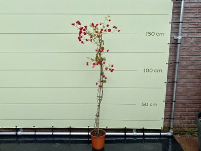 Bougainvillea rood 170cm