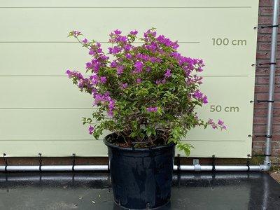 Bougainvillea paars struik 110cm