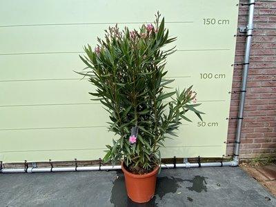 Roze Oleander - Nerium Oleander - 130 cm