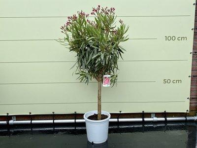 Rode Oleander op stam 130cm