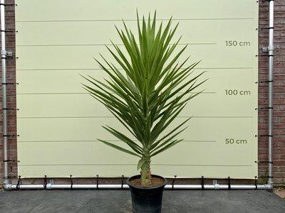 Yucca Elegans 160cm