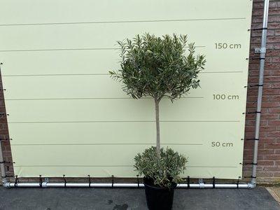 Olijfboom dubbele bol op stam 165cm