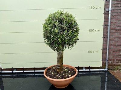 Olea Europea - Olijfboom bol op stam in decopot, stamomvang 25-40cm