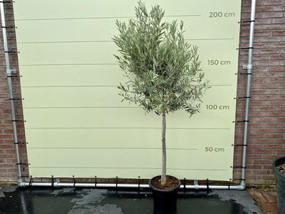 Olea Europea - Olijfboom met gladde stam, stamomvang 12 - 14cm