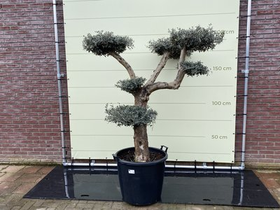 Olea Europea - Olijfboom pon-pon stamomvang 40 - 50cm