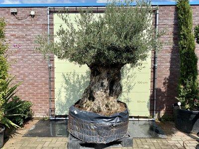 Olea Europea - Olijfboom bonsai stamomvang 180 - 230cm
