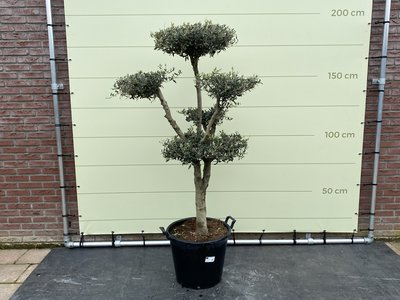 Olea Europea - Olijfboom pon-pon, stamomvang 20 - 25cm