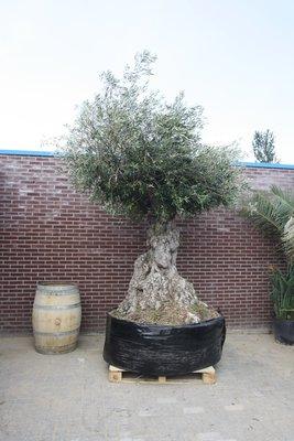 Olea Europea - Olijfboom bonsai stamomvang 140cm