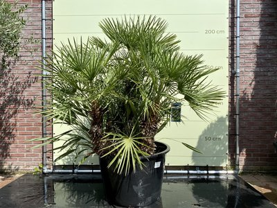 Chamaerops Humilis 230cm