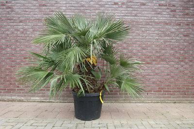 Chamaerops Humilis 170cm