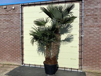 Trachycarpus Fortunei MULTISTAM 250CM