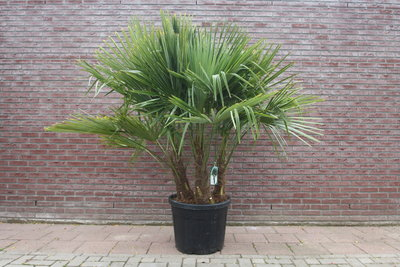 Trachycarpus Fortunei MULTISTAM 200CM
