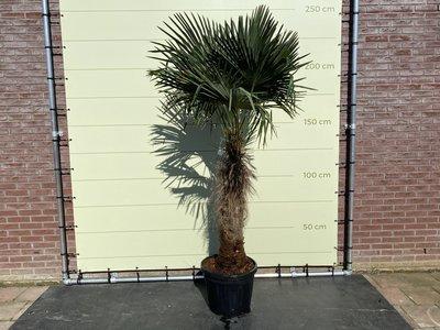 Trachycarpus Fortunei 80 - 100cm stamhoogte