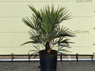 Trachycarpus Fortunei 20-25 cm stamhoogte
