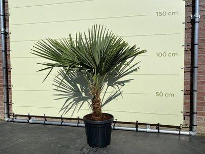 Trachycarpus Fortunei 30 - 35cm stamhoogte