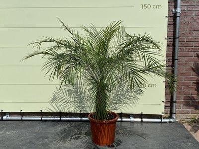 Phoenix Roebelenii stamhoogte 25-35cm