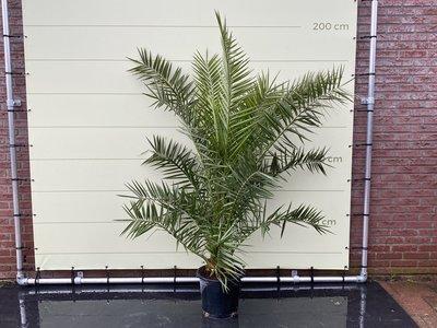 Phoenix Canariensis stamhoogte 10cm