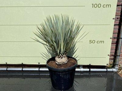 Yucca Rostrata stamhoogte 20 - 30cm