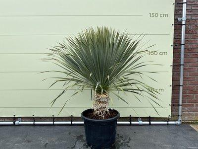Yucca Rostrata stamhoogte 30-40 cm