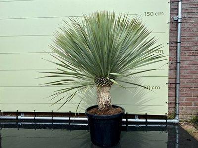 Yucca Rostrata stamhoogte 40-50cm