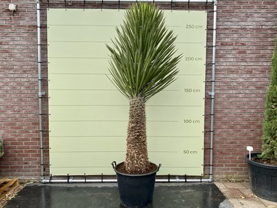 Palmlelie - Yucca Filifera 280cm