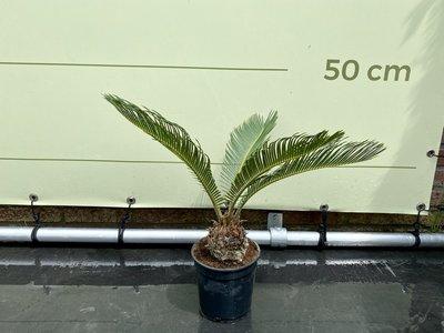 Cycas Revoluta stamhoogte 10cm