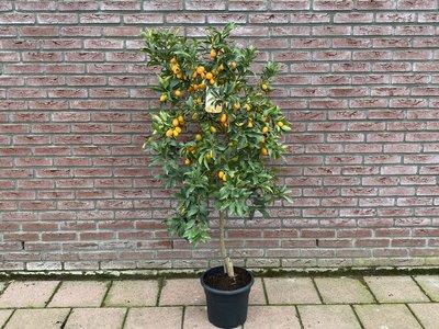 Kumquat maat L