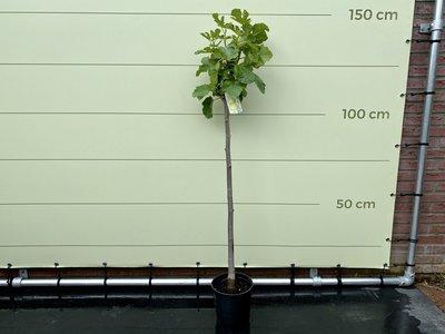 Vijgenboom- Ficus Carica 150 cm, zoete groene vijg