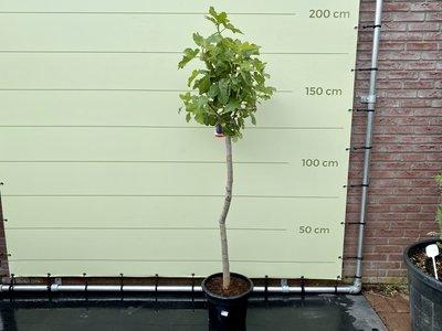 Vijgenboom - Ficus Carica 200cm, zoete donkere vijg