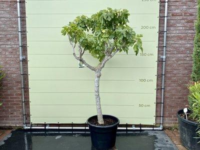 Vijgenboom - 225cm, stamomvang 20-25cm met zoete groene vijg