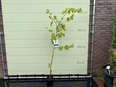 Druivenboom met witte druif pitloos 220cm