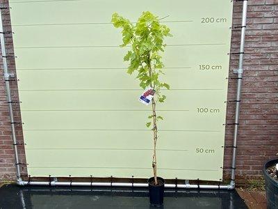 Druivenboom met rode druif pitloos 200cm