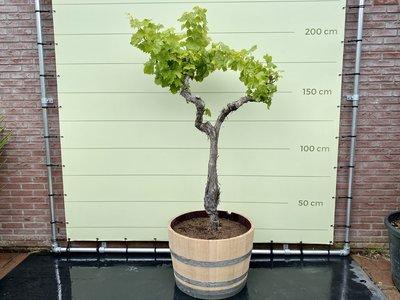 Druivenboom in houten wijnvat - Druif op oude stam 200cm