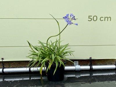 Agapanthus 50cm, kleur blauw
