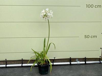 Agapanthus 60cm, kleur wit