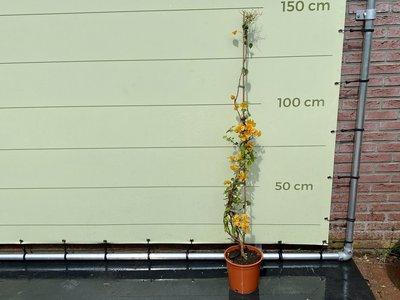 Bougainvillea oranje 150cm