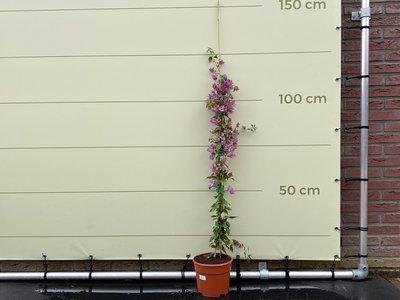 Bougainvillea paars 125 cm