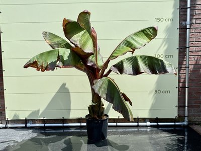 Musa Maurelli 150cm