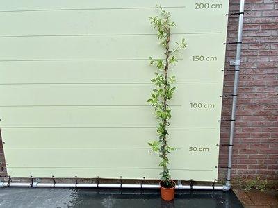 Toscaanse Jasmijn 160 / 200cm