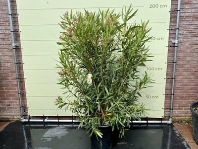 Witte Oleander - Nerium Oleander - 200 cm