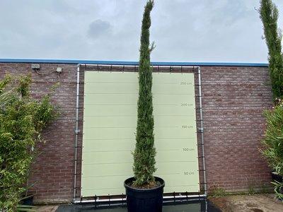 Italiaanse Cipres Totem 450cm