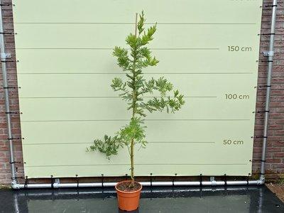 Mimosa 180 cm