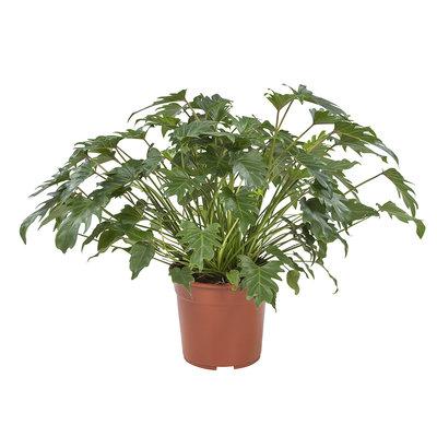 Philodendron Xanadu(Philodendron Xanadu)