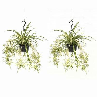 Duo Graslelie(Duo Chlorophytum comosum)