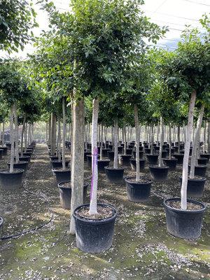 Treurvijg - Ficus Benjamina, hoogte ca. 4 meter, stamomvang 16-22cm