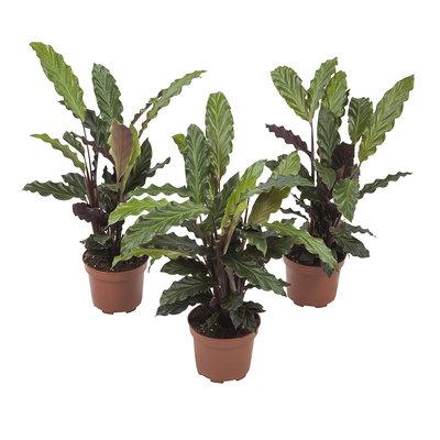Calathea Rufibarba(Calathea Rufibarba)
