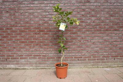Citroenboom maat S