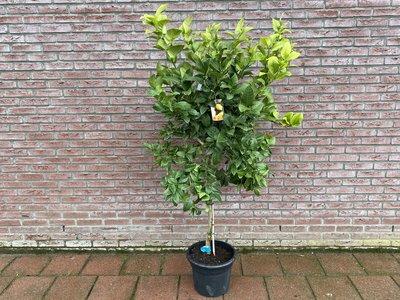Citroenboom maat L