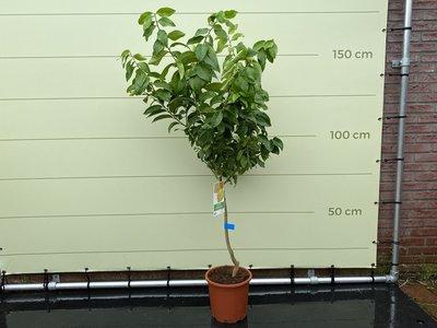 Citroenboom maat M 120cm